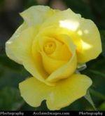 Yellowrose_2